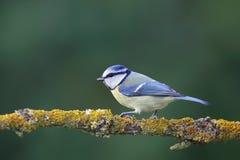 Blue Tit (Parus caeruleus) Stock Image