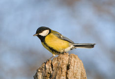 Blue tit - Parus major  Stock Images
