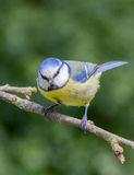 Blue tit perched on apple tree branch Stock Images
