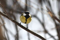 Blue tit. Perched on a branch Royalty Free Stock Photo