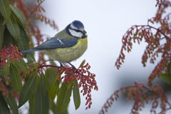 Blue tit perched on a branch, Vosges, France Stock Photos