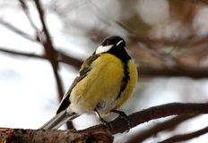 Blue tit. Perched on a branch in winter forest Royalty Free Stock Photos