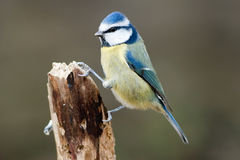 Blue Tit Perched on Broken Branch Royalty Free Stock Photo
