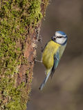 Blue Tit perched Royalty Free Stock Photography