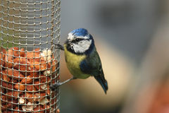 A blue tit perched feeding on peanuts from a feeder. Blue tits are a common garden bird in the UK. They take readily to nesting in nest boxes and entertain for royalty free stock images