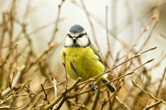 Blue Tit Perched in hedge looking straight on. The bare branches indicate that this is a winter scene Stock Photography