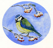 Blue Tit Perching on a Branch with Berries Royalty Free Stock Photo