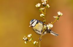 Blue tit perching on a cherry blossom twig stock image