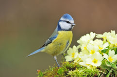 Blue tit. Photo of blue tit standing next to primroses Royalty Free Stock Photography