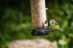 Blue Tit. Picture of a female blue-tit sitting on a feeder filled with seeds royalty free stock photos