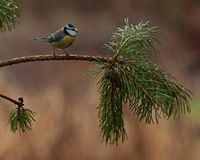 Blue tit on a pine branch Royalty Free Stock Photo