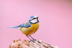 Blue tit in pink background Stock Image