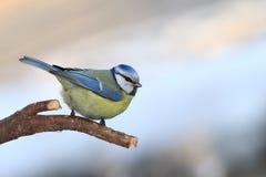 Blue tit portrait on branch. Blue tit on branch - sky background Stock Photos