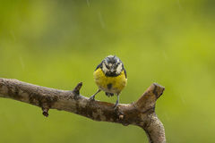 Blue tit rained wet Royalty Free Stock Images