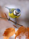 Blue tit with red leafs Stock Photos