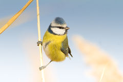 Blue tit on reed / Parus caeruleus Royalty Free Stock Images
