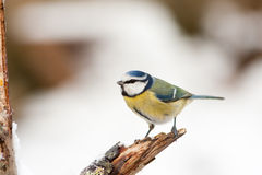 Blue Tit on Rotten Branch with Winter Snow Stock Photo