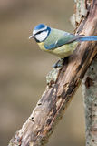 Blue Tit on Rotten Decayed Branch Royalty Free Stock Images
