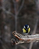 Blue tit with seed in beak Stock Photography