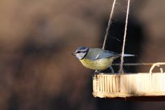 Blue tit on a seed feeder Stock Photography