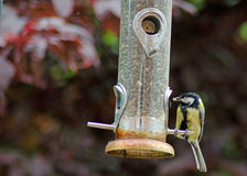 Blue tit with seed Royalty Free Stock Image