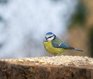 Blue Tit on seed table Stock Photos