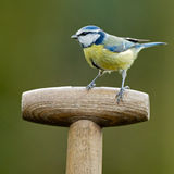 Blue tit on a shovel Royalty Free Stock Images