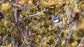 Blue Tit on Shrubs Royalty Free Stock Images