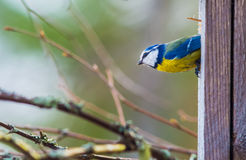 Blue tit Royalty Free Stock Photos