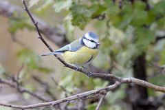 Blue tit sits on branch.