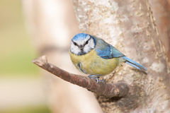 Blue Tit sitting on a brach and looking to the front Royalty Free Stock Image