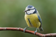 Blue tit sitting on a branch. This blue tit is sitting on a branch looking to the left. A beautiful green background Royalty Free Stock Photo