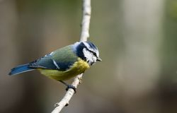Blue tit. Sitting on branch Stock Photography