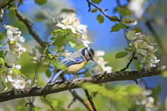 blue tit sitting on a branch of a blossoming Apple tree in spring garden Royalty Free Stock Photo