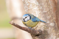 Blue Tit sitting on a branch and looking straight ahead Royalty Free Stock Photos