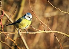Blue tit sitting on a branch royalty free stock photography