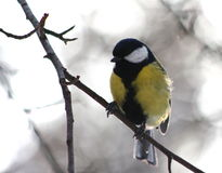 Blue tit. Sitting on a branch in winter forest Royalty Free Stock Image