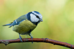 Blue tit sitting on an brench. This cute little bird, a blue tit, is sitting on a brench looking to the right Stock Photography