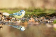 Blue tit sitting on lichen shore of pond water in forest with bokeh background and saturated colors, Czech republic. Bird reflected in water, songbird in stock image