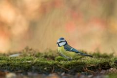 Blue tit sitting on lichen shore of pond water in forest with bokeh background and saturated colors, Hungary, songbird in nature. Forest lake habitat, cute stock photography