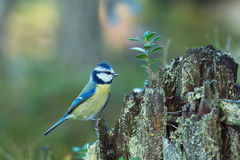 Blue Tit sitting on an old stump Stock Images