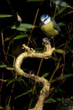 Blue Tit sitting on a perch. A Blue Tit sittng on an on dead branch of a bush Royalty Free Stock Photo