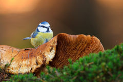 Blue tit sitting on toad stool. Blue tit in winter sitting on stock images