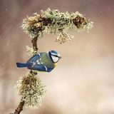 Blue tit sitting under the snow on a beautiful stick with moss royalty free stock photography