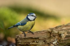 Blue tit sitting on wood trunk in forest with bokeh background and saturated colors, Hungary, songbird in nature forest lake habit. At, cute small colorful bird royalty free stock photography