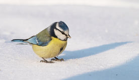 Blue Tit on Snow Royalty Free Stock Images
