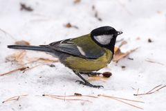 Blue tit on the snow. Close-up. royalty free stock images