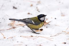 Blue tit on the snow. Close-up. royalty free stock photos