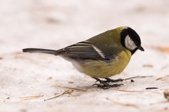Blue tit on the snow. Close-up. stock images