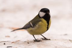 Blue tit on the snow. Close-up. royalty free stock photography